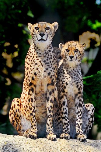cheetahs-basel-zoo