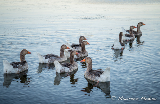 Gaggle of Geese (1 of 1)